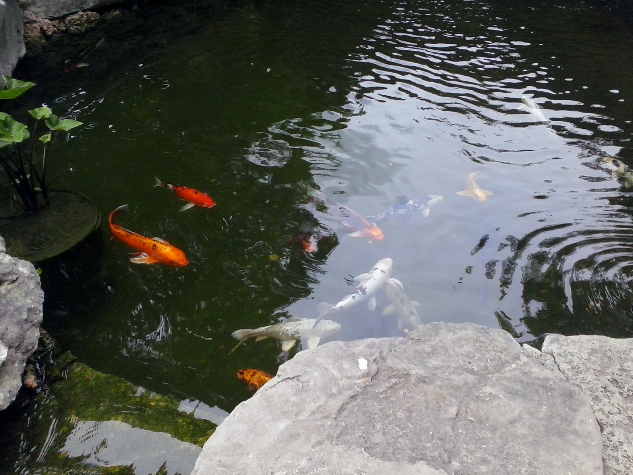 Genesis Pool koi pond in A Woman's Garden.
